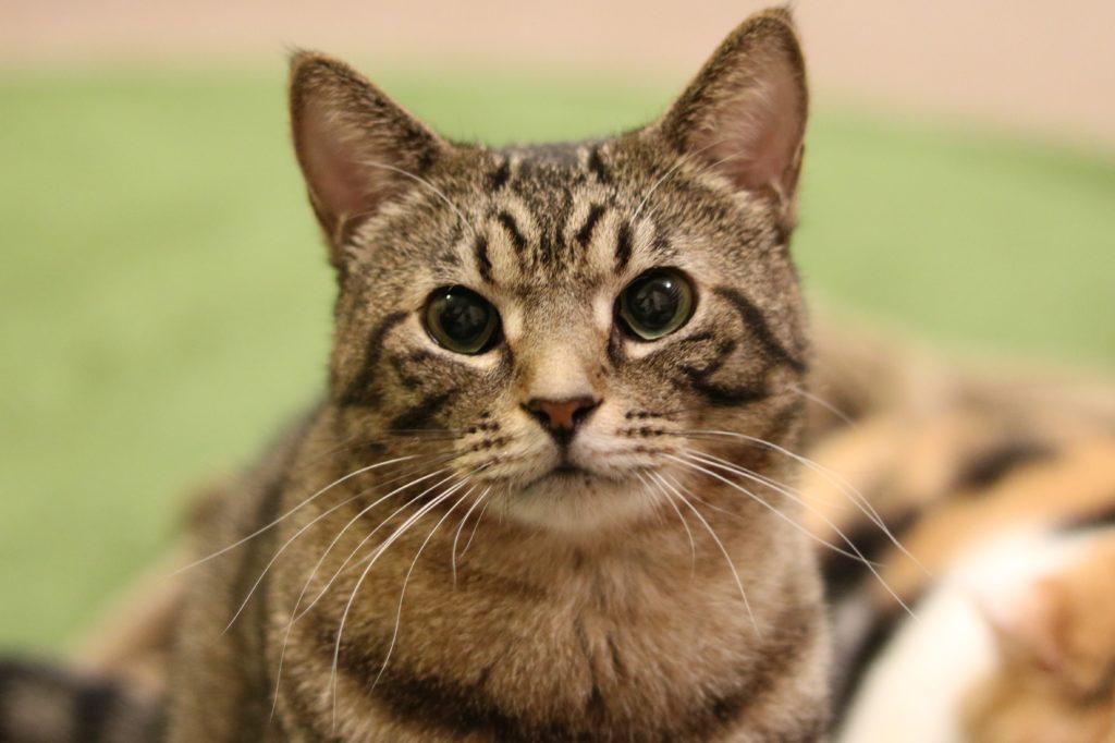 Mewkies(ミューキーズ)の猫