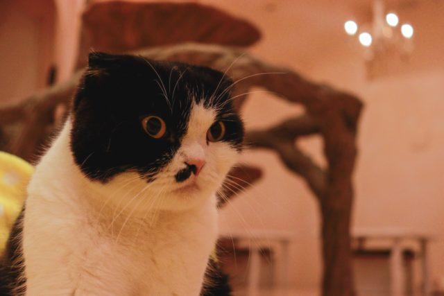 てまりのおしろの猫
