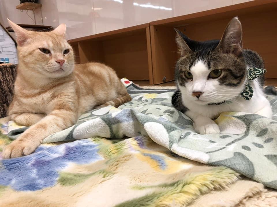 保護ネコカフェハッピーキャットの猫