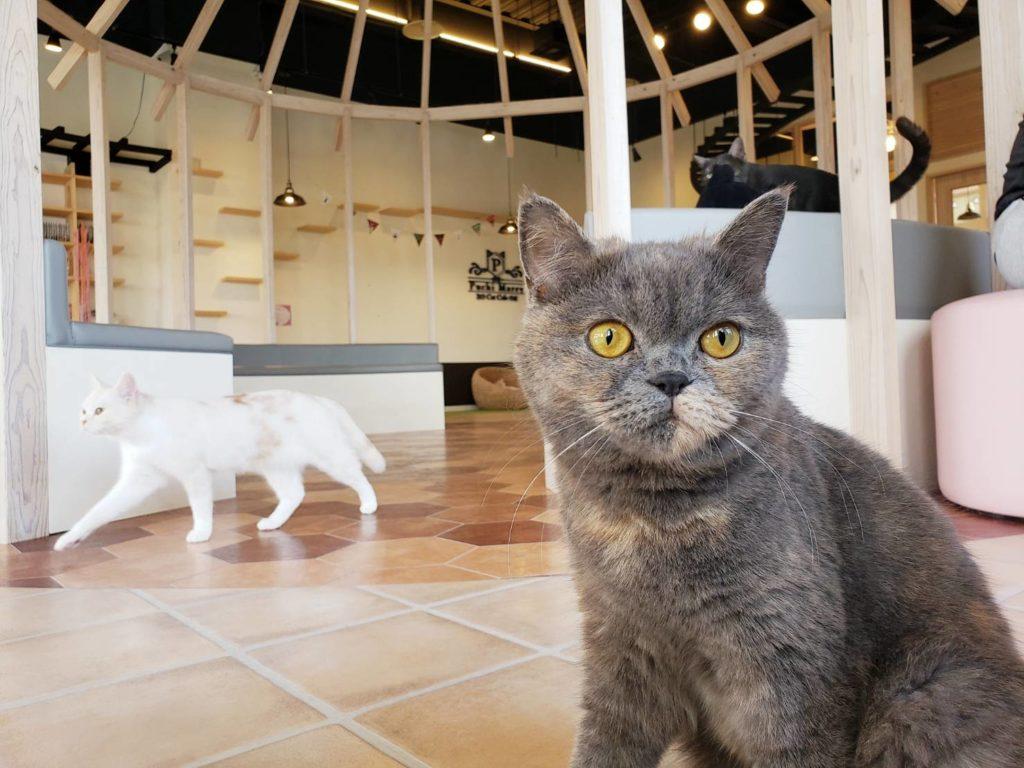 ぷちまりー沖縄北谷店の猫