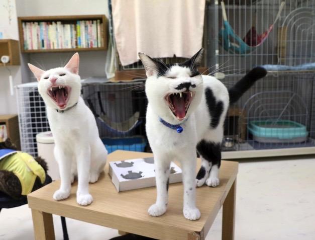 猫カフェ ひとやすみの猫