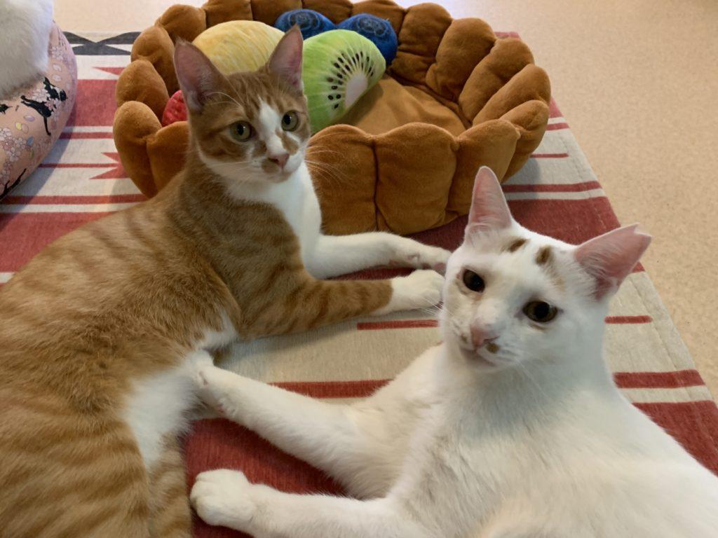 保護猫カフェ カーロの猫