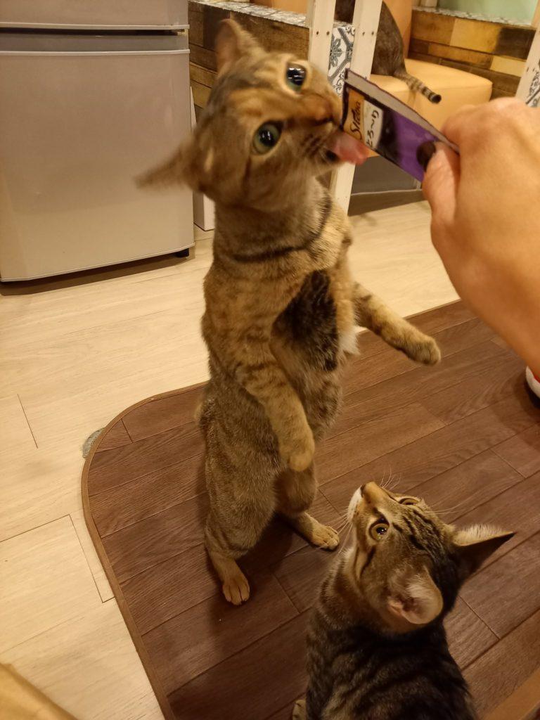 猫まるカフェの猫