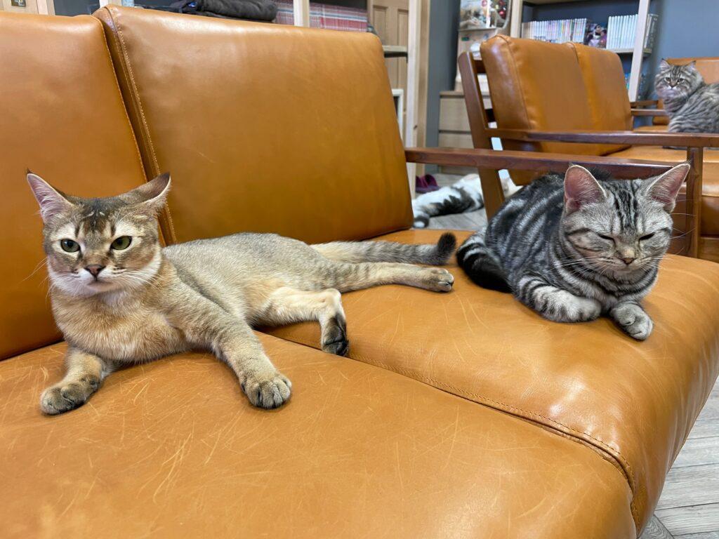猫カフェcatioの猫